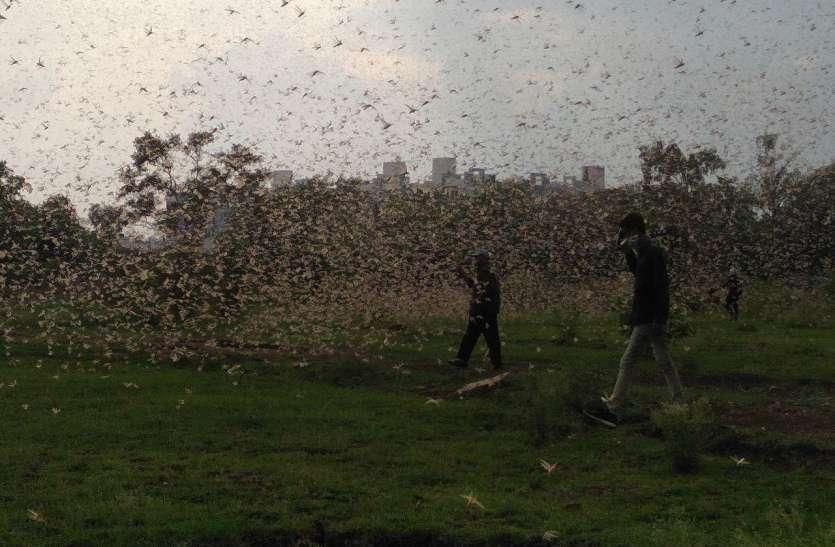 आसमान में हजारों लाखों टिड्डियों को उड़ता देख हैरान हो गए लोग, भोपाल में टिड्डी दल की दस्तक