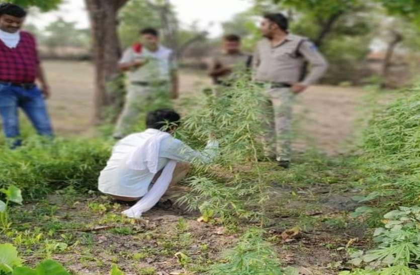 खेत पर लगे थे गांजे के पेड़, यहीं ग्राहकों को चिलम में पिलाता था गांजा