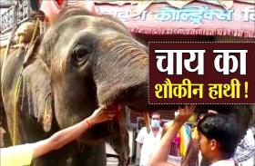 चाय की चुस्की लेते गजराज, हाथी को पसंद है यहां की चाय, देखें वीडियो
