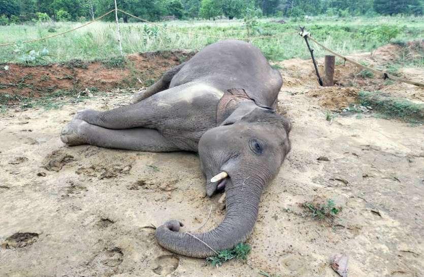 पिछले एक सप्ताह में 5 हाथियों की मौत से हड़कम्प