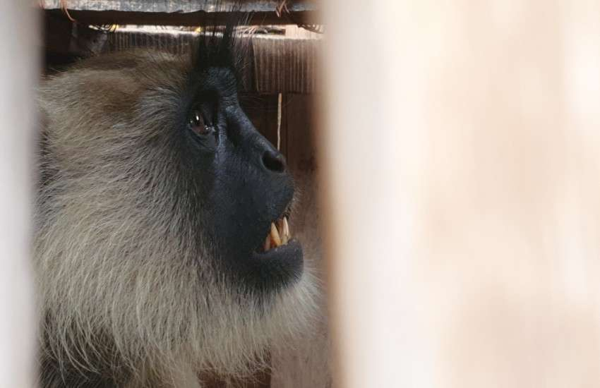 Two monkeys who were making terror caught in a cage
