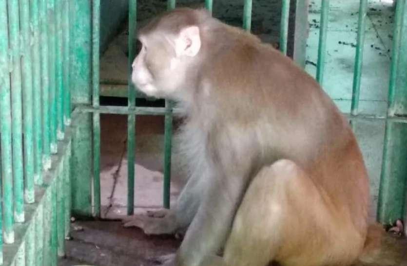 इस दीवाने बंदर 'कलुआ' को मिली उम्रकैद की सजा, इसकी हरकतों को जान जाएंगे तो सिर पकड़कर बैठेंगे
