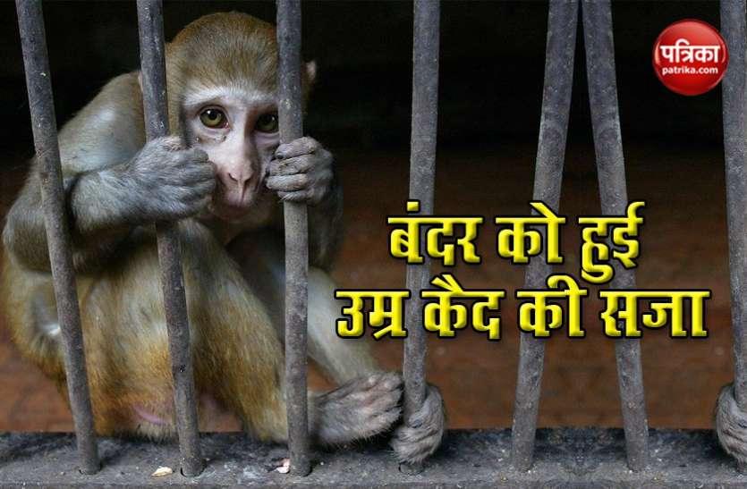 शराब पीकर बंदर करता था शरारत, मिली उम्रकैद की सजा, जेल में ही बितेगी पूरी जिंदगी