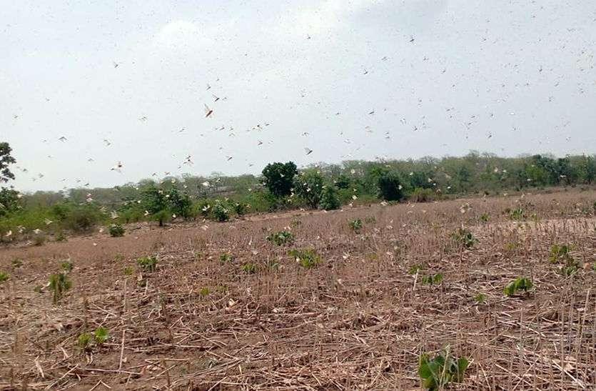 कोटा जिले में फिर टिड्डी दल का हमला, सब्जी-फसलों को किया चट