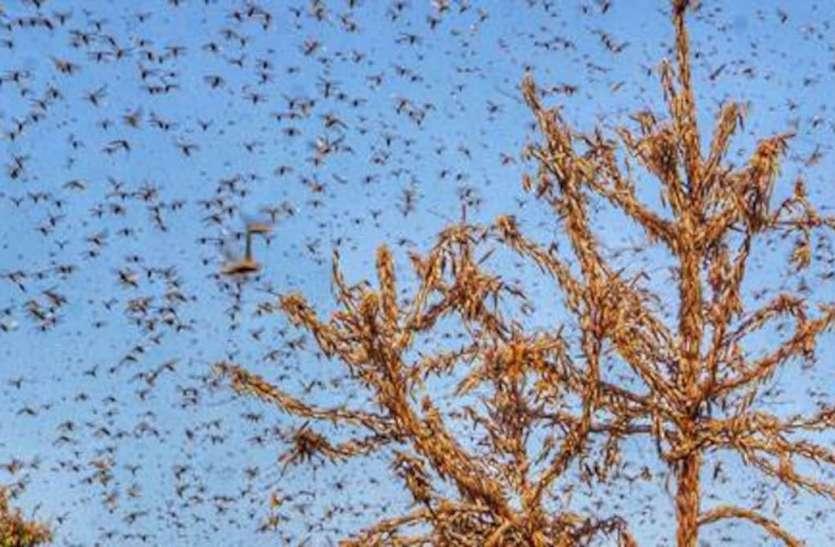 Tiddi Attack : टिड्डी नियंत्रण के लिए राजस्थान में 12 ड्रोन तैनात
