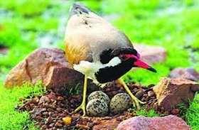 टिटोड़ी के अंडों का मुंह जमीन की ओर तो, मिलते बारिश के ये संकेत