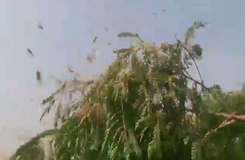 बुंदेलखंड के हमीरपुर समेत कई जिलोंं में पहुंचा पाकिस्तानी टिड्डियों का दल, किसानों की फसलें हो रहीं चौपट