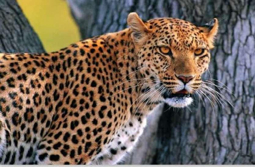 वन्यजीव आंकलन में भी दिखा लॉकडाउन का असर, अधिक दिखे पैंथर
