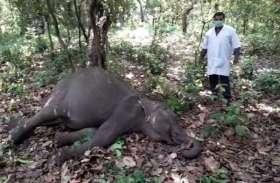 अब इस गंभीर बीमारी की वजह से हुई हाथी के बच्चे की मौत,वन विभाग में हड़कंप