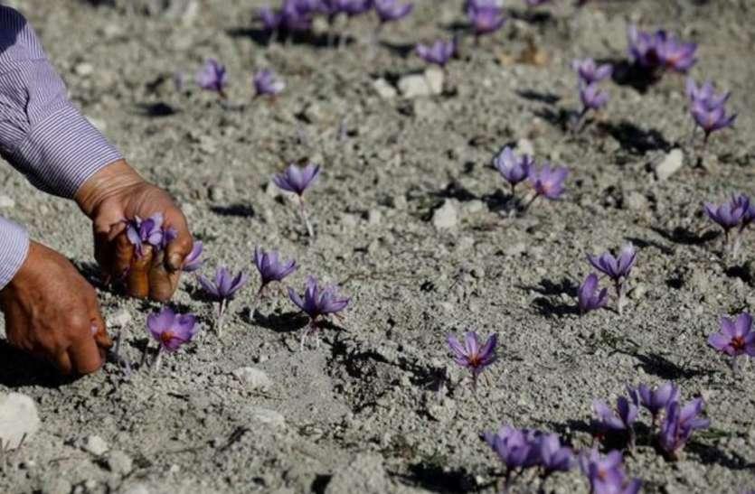 Cultivate Saffron Asafetida : हिमाचल में होगी हींग तथा केसर की खेती