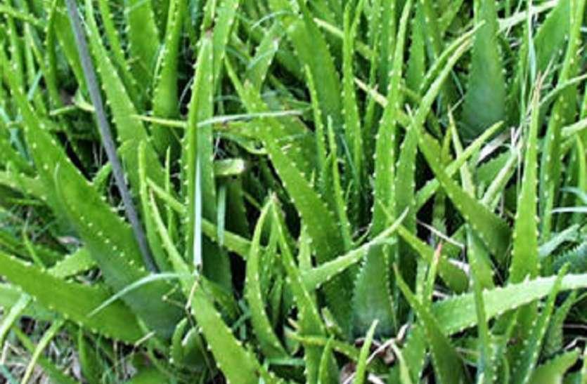 वन महोत्सव: जिले में लगाए जाएंगे 201 प्रजाति के औषधीय पौधे
