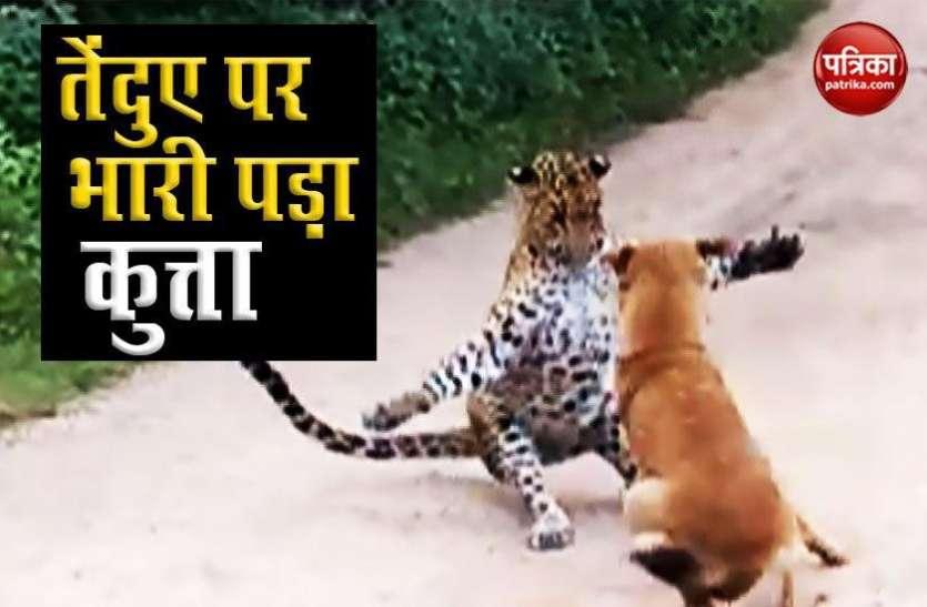 देखें कैसे एक कुत्ते नें शिकारी तेंदुए को भौंक-भौंकर कर खदेड़ा, वायरल हुआ Video