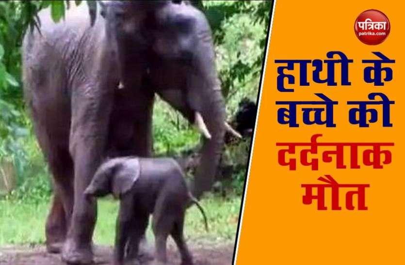 बिजली के तार की चपेट में आने से हाथी के बच्चे की दर्दनाक मौत, ग्रामीणों की समझदारी से टला बड़ा हादसा
