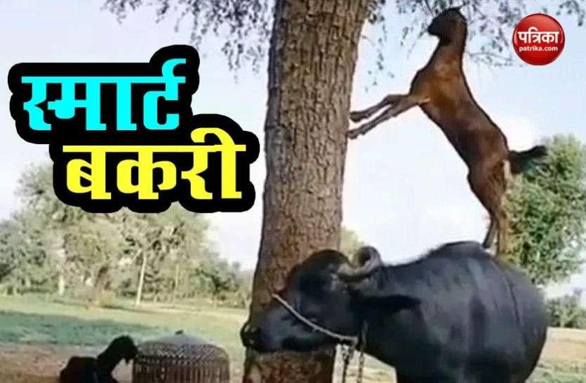 Video: पत्ते खाने के लिए भैंस के उपर चढ़ गई बकरी, जुगाड़ देख लोग चरण 'छूने' को तैयार !