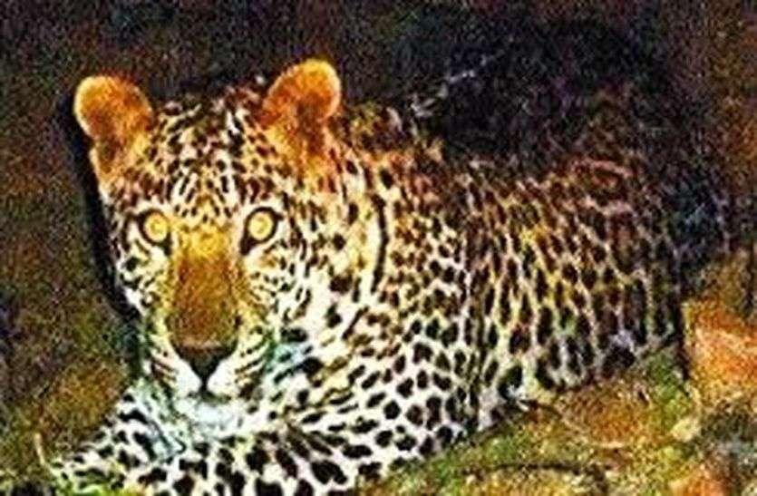 Panther Attack- बघेरे का आतंक : फिर किया हमला