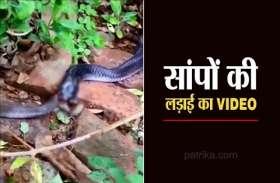 VIDEO STORY : छोटे सांप को निगल गया बड़ा सांप, 2 घंटे तक चली लड़ाई