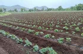 सरकारी कोटे में खाद का टोटा, यूरिया की किल्लत से किसानों के सामने खड़ी हुई नई परेशानी