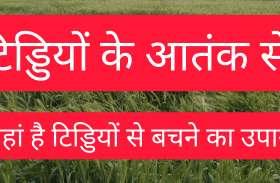 टिड्डी के संभावित आक्रमण से प्रशासन, किसान के साथ वैज्ञानिक भी चिंतित