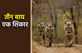 तीन बाघों के बीच फंसी भैंस, टाइगर्स ने ऐसे किया शिकार, देखें लाइव वीडियो