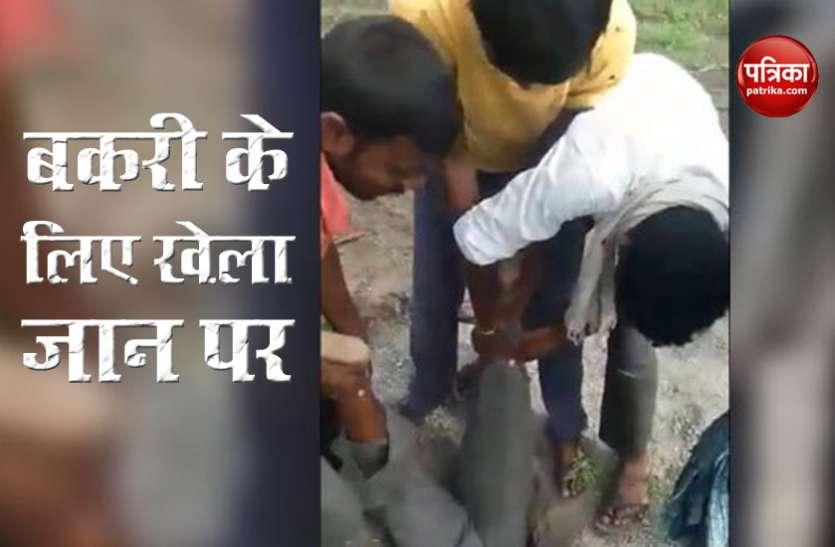 बकरी की जान बचाने के लिए शख्स ने दांव पर लगाई अपनी जिंदगी, देखें VIdeo