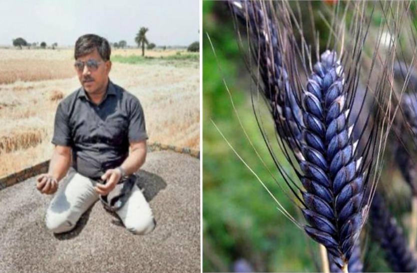 इस किसान के लिए सोना बन गया काला गेहूं, सिर्फ भारत से ही नहीं विदेशों से भी आती है भारी डिमांड
