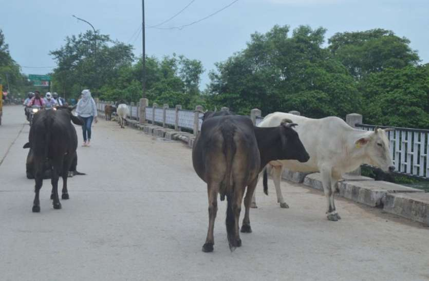 Stray cattle on the streets, administration could not even get radium tagging