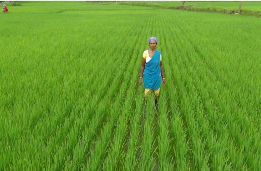 कतार बोनी विधि में आती है धान में कम लागत : कम वर्षा में भी मिलती है अच्छी फसल