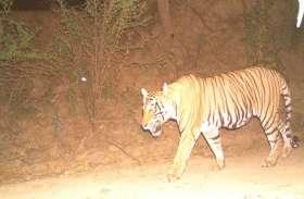 रणथम्भौर से फिर बाघ पहुंचा रामगढ़