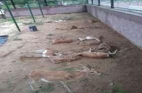 जोधपुर में हर साल 600 चिंकारों की मौत, हत्यारा कौन?