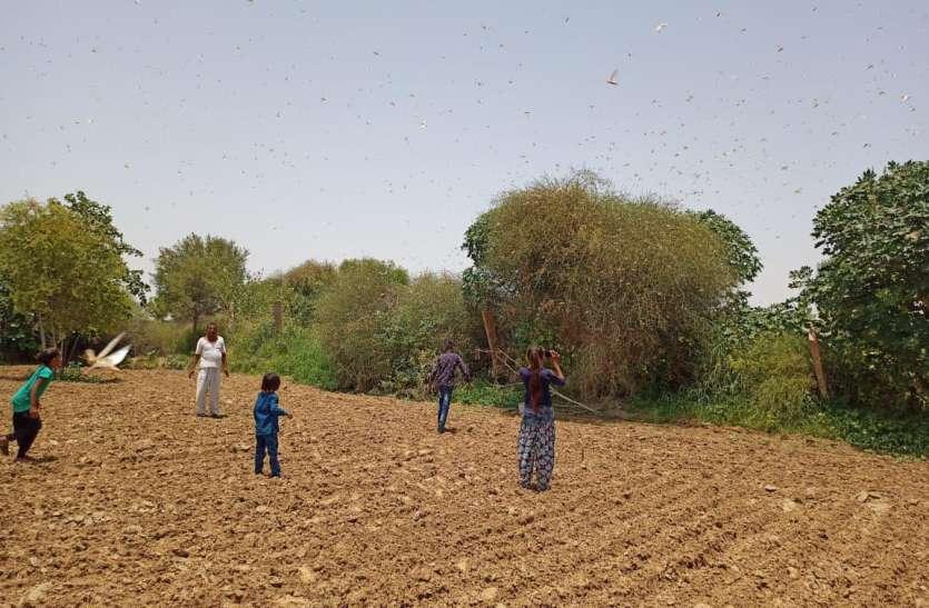 खेतों में मंडरा रहा टिड्डियों का खतरा