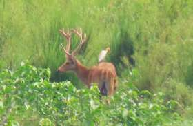 मुजफ्फरनगर के जंगलों में दिखी दुर्लभ प्रजाति के बारहसिंघा की फ़ौज, ड्रोन से शुरू हुई निगरानी