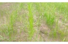 अटकी बारिश, अब खेतों में सूखने लगी धान की पौध
