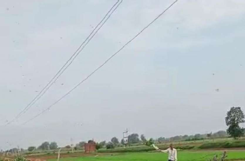 कराहल के आठ गांवों में 18 घंटे में टिड्डियां चट कर गईं चार सैकड़ा किसानों की फसल