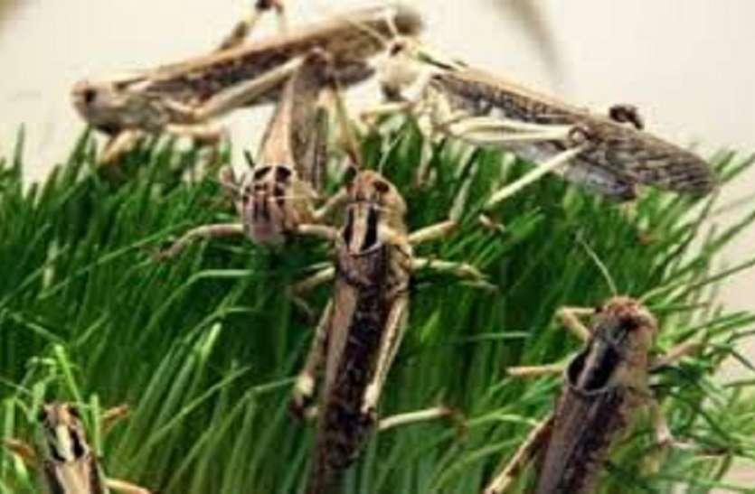 सरकार ने हाथ खड़े किए, टिड्डी से नुकसान किसान भुगतेंगे