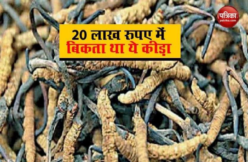 20 लाख रुपए में बिकने वाले इस कीड़े पर पड़ी कोरोना की मार, कौड़ियों के दाम में भी नहीं मिल रहे ग्राहक