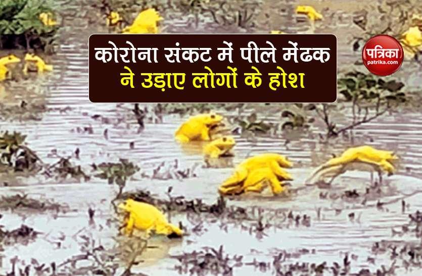 Yellow Frogs: कोरोना संकट के बीच यहां निकले हजारों पीले मेंढक, जानिए इनका रहस्य
