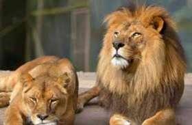 Asiatic Lions: एशियाई शेरों के लिए अमरीका से मंगाई जाएगी एक हजार वैक्सीन