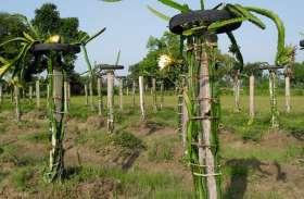 ड्रैगन से दुश्मनी लेकिन ड्रैगन फ्रूट्स की फसल जनपद में, किसानों के लिए लाभदायक