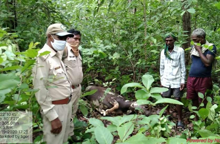 बाघ ने किया बोदा का शिकार, वनाधिकारियों ने किया निरीक्षण