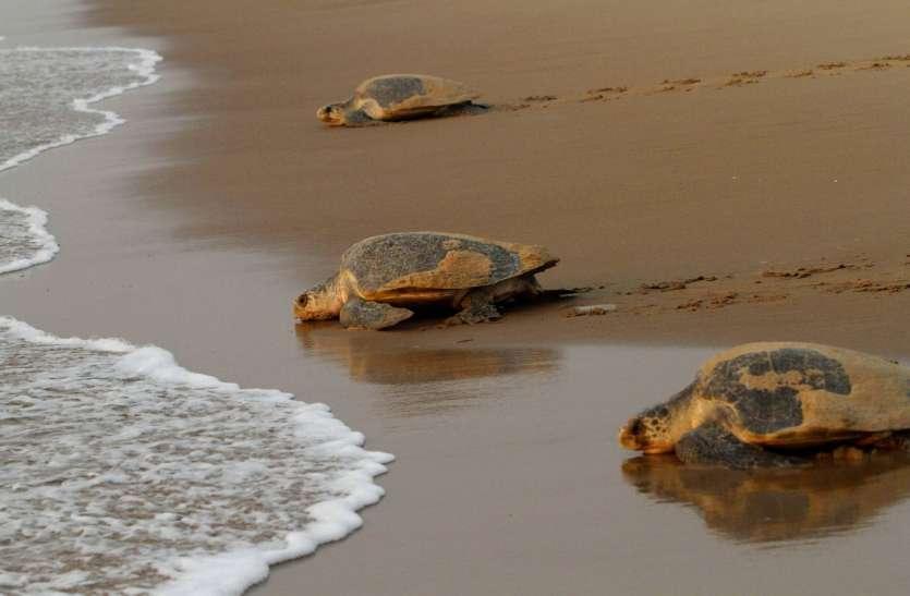 Turtle : ओडिशा में मिला दुर्लभ प्रजाति का पीला कछुआ