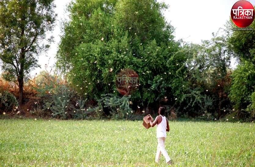 टिड्डियों का फिर कहर : फसलें चौपट, तबाही को देख भूमिपुत्र थाली बजाकर दौड़ रहे