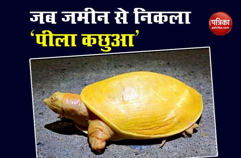 Odisha: सुजानपुर में दिखा दुर्लभ प्रजाति का Yellow Turtle, वायरल हुआ Video