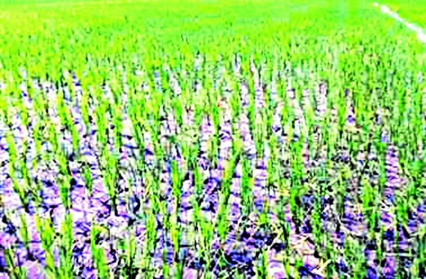 यहां नहीं मिल रहा किसानों को न्याय, मौसम दे रहा दगा, आंसूओं से खेतों को सींच रहे बेबस किसान ...