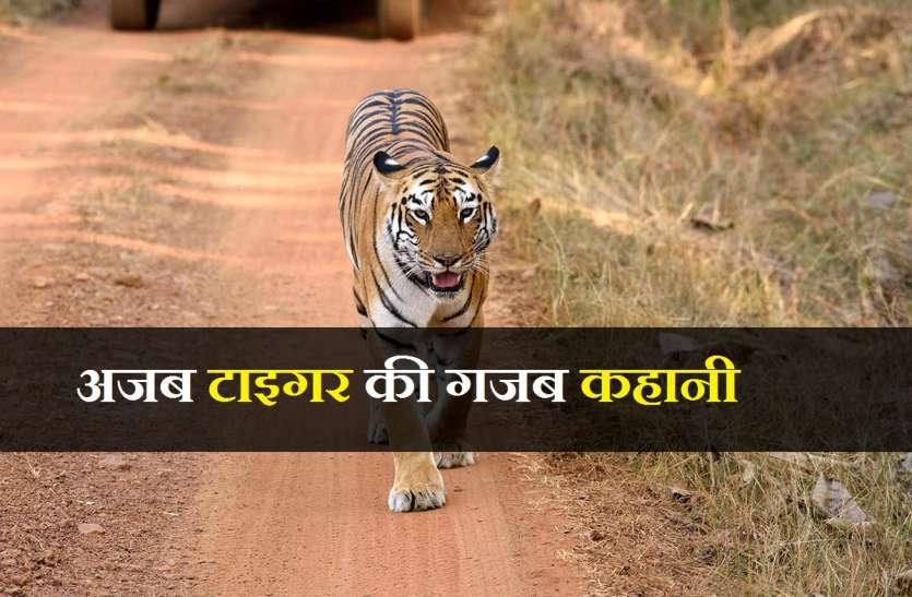 जानिए बाघिन की तलाश में 200 किमी का सफर तय करने वाले टाइगर की कहानी...