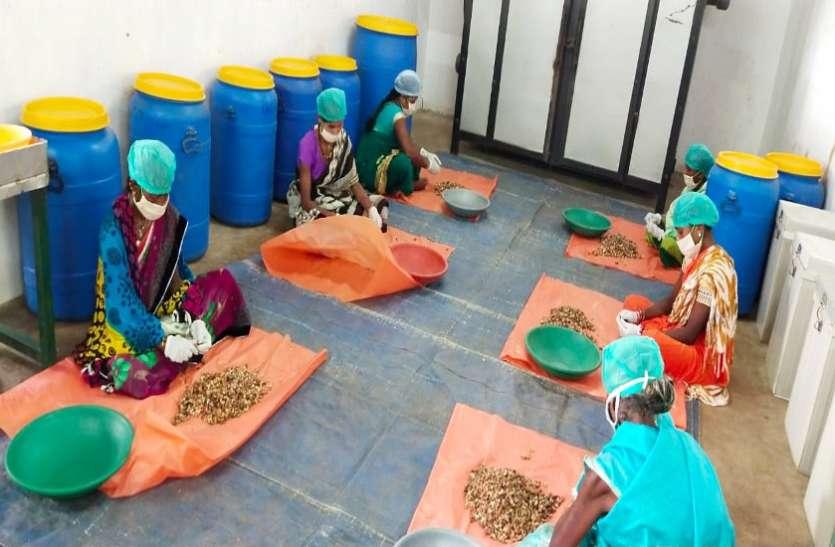 बस्तर के स्वादिष्ट काजू ने कोरोना संकट के समय में बढ़ाई वनवासी परिवारों की आमदनी
