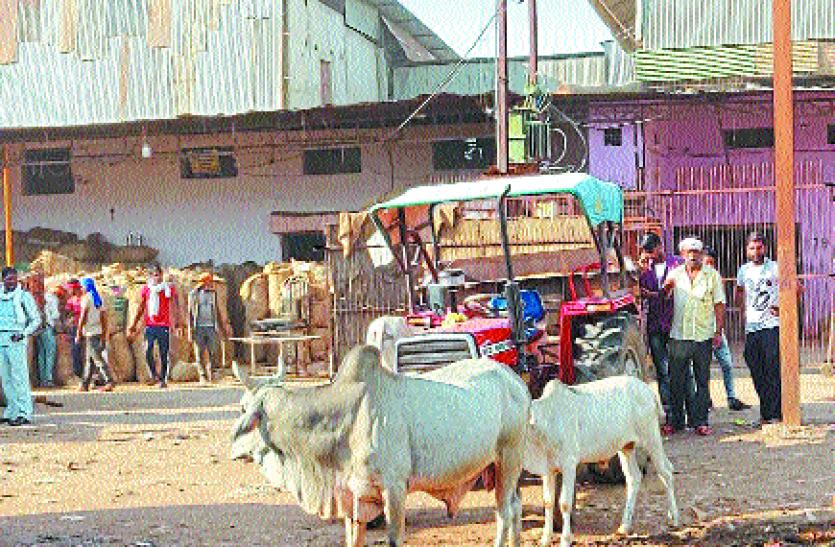 मंडी में किसान पर सांड का हमला, उठाकर जमीन पर पटका, सिर में आई गंभीर चोट