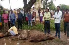 बिलासपुर में 50 गायों की मौत, दोषियों के खिलाफ FIR के आदेश, BJP ने सरकार पर साधा निशाना