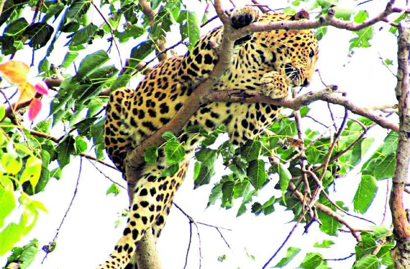 साल्हेवारा के रामपुर में पहुंचा तेंदुआ, पेड़ पर बैठा दिखा, कर रहे निगरानी फिर भी है क्षेत्र में दहशत ...