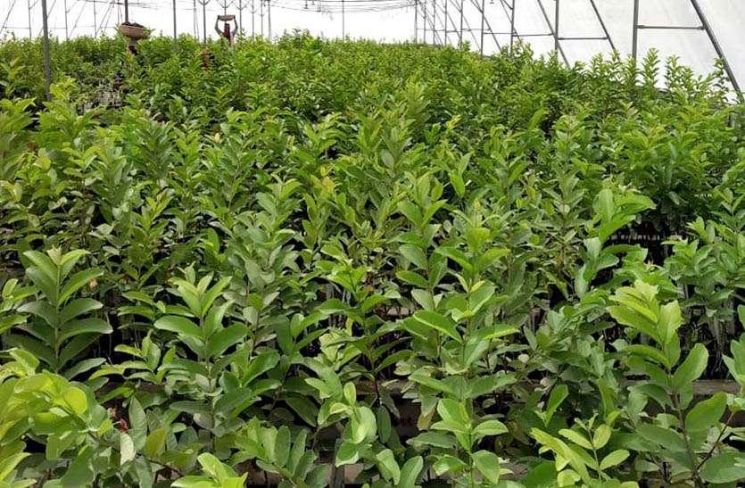 मानसून की बैरूखी से पौधशाला में कैद हुए ढ़ेड लाख से अधिक पौधे