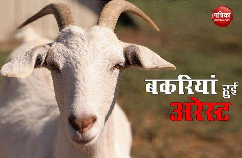 चोरी छिपे पौधे खाने पर 15 बकरियों पर हुआ केस, लगाया 3 हजार रुपए का जुर्माना